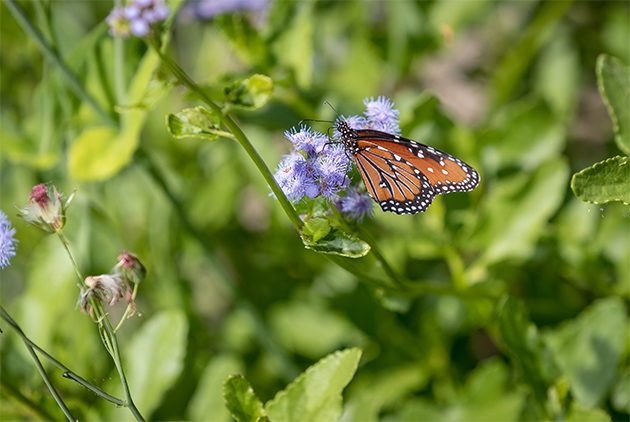The Lower Rio Grande Valley is home to nearly 40 percent of the 700 species of butterflies found in the United States. Now, the UTRGV biology department is hoping to attract as many of those as it can with a new butterfly garden on the Brownsville Campus. Dr. Lucia Carreon Martinez, UTRGV biology lecturer who is spearheading the project, said conservation is vital because butterflies and other pollinators are threatened by habitat loss due to development, pesticide and herbicide use, and are a vital part of the Valley's ecological balance. Construction on the garden started in February, and volunteers now help maintain the site. (UTRGV Photo by David Pike)