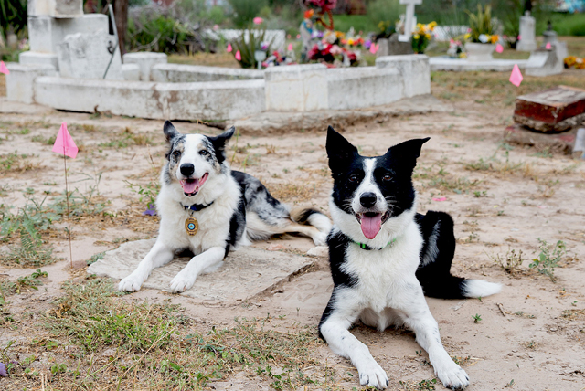 Jasper and Piper, border collies with the Institute for Canine Forensics trained to detect old burial sites, have been helping in an effort by Dr. Sarah Rowe, UTRGV assistant professor of sociology and anthropology, and some of her students to identify the unmarked burial sites and remains. The cemetery has been closed since the 1990s and has fallen into neglect. (UTRGV Photo by Paul Chouy)